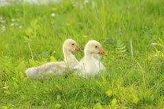 Gansjes in het gras Royalty-vrije Stock Fotografie