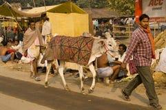 ganska indisk boskap Arkivfoto
