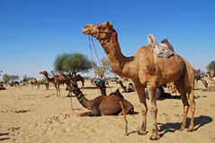 ganska kamel Royaltyfri Fotografi