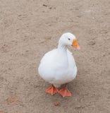Ganso blanco de la casa poultry Pájaro grande imagen de archivo libre de regalías