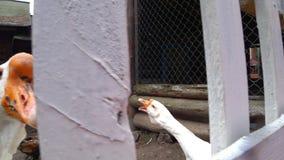 Ganso blanco del corral que estira su cuello sobre una granja de la cerca La yarda del ` s del pájaro del pueblo almacen de video