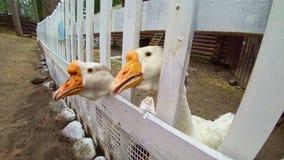 Ganso blanco del corral que estira su cuello sobre una granja de la cerca La yarda del ` s del pájaro del pueblo almacen de metraje de vídeo