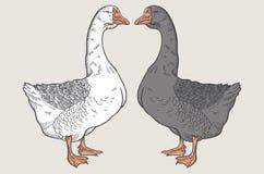 Ganso blanco, ganso gris, mano dibujada, aves de corral del ganso ilustración del vector