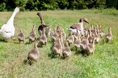 Ganso blanco y dos patos del pato silvestre con el embrague de anadones Fotografía de archivo