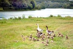 Ganso blanco y dos patos del pato silvestre con el embrague de anadones Fotos de archivo libres de regalías