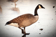 Ganso blanco y negro marrón grande que camina en la charca congelada Fotografía de archivo