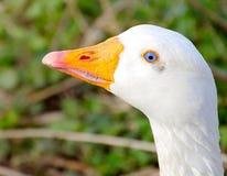 Ganso branco bonito com olhos azuis profundos naturais Imagem de Stock