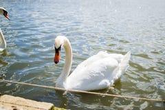 Ganso branco bonito que nada em uma associação ou em um lago elegance imagem de stock royalty free