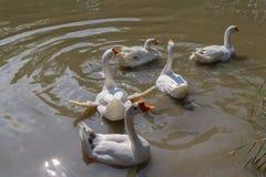 Ganso branco doméstico na lagoa Fotografia de Stock Royalty Free