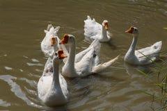 Ganso branco doméstico na lagoa Imagens de Stock