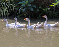 Ganso branco doméstico na lagoa Foto de Stock