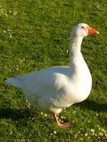 Ganso branco na grama Imagem de Stock Royalty Free
