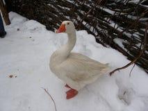 Ganso branco orgulhoso no inverno Imagem de Stock