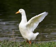 ganso branco que está na costa da lagoa para espalhar suas asas Imagem de Stock Royalty Free