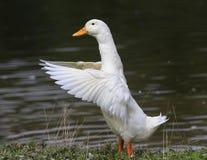 ganso branco que está na costa da lagoa para espalhar suas asas Fotos de Stock Royalty Free
