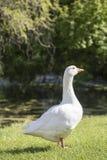 Ganso branco que está na grama Fotos de Stock Royalty Free