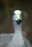 Ganso- Cabo Barren. Close-up shot of a Cape Barren Goose, Cereopsis novaehollandiae stock image