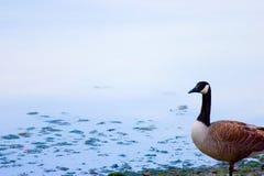 Ganso canadense Fotografia de Stock Royalty Free