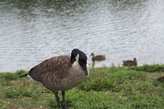 Ganso canadense que está perto da lagoa Imagens de Stock Royalty Free