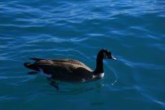 Ganso canadense que nada livremente na claro a água do lago fotografia de stock royalty free