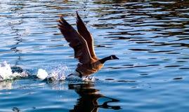 Ganso canadense que toma o voo da água azul fotos de stock