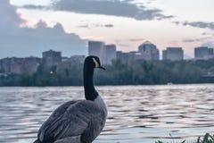 Ganso canadiense Foto de archivo libre de regalías