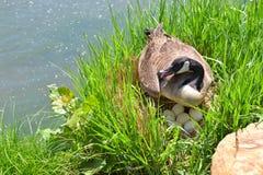 Ganso canadiense con los huevos y la jerarquía imagen de archivo