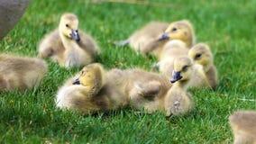Ganso canadiense con los polluelos, gansos con los ansarones que caminan en hierba verde en Michigan durante la primavera foto de archivo libre de regalías