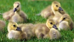 Ganso canadiense con los polluelos, gansos con los ansarones que caminan en hierba verde en Michigan durante la primavera Imagenes de archivo