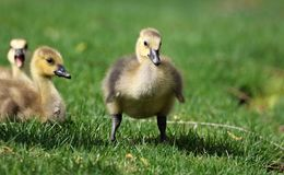 Ganso canadiense con los polluelos, gansos con los ansarones que caminan en hierba verde en Michigan durante la primavera Fotos de archivo libres de regalías