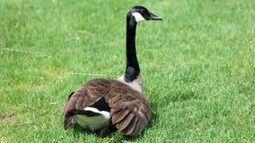 Ganso canadiense con los polluelos, gansos con los ansarones que caminan en hierba verde en Michigan durante la primavera Imagen de archivo