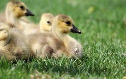 Ganso canadiense con los polluelos, gansos con los ansarones que caminan en hierba verde en Michigan durante la primavera Fotografía de archivo libre de regalías