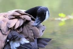Ganso canadiense que se atusa sus plumas Foto de archivo libre de regalías