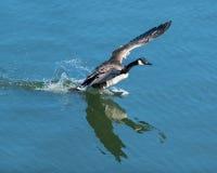 Ganso canadiense que se prepara para sacar del agua Fotos de archivo