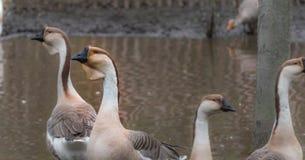 Ganso chinês doméstico Os pássaros grandes em um passatempo cultivam em Ontário, Canadá Imagem de Stock