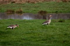 Ganso cinzento na grama próxima uma lagoa foto de stock