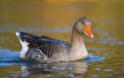Ganso cinzento que flutua na água Imagem de Stock Royalty Free