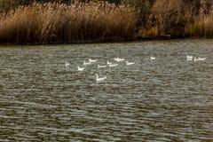 Ganso con los patos blancos Foto de archivo