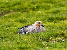ganso Corado-dirigido, rubidiceps de Chloephaga, ilha dos receptores acústicos, Falkland Islands-Malvinas Foto de Stock Royalty Free