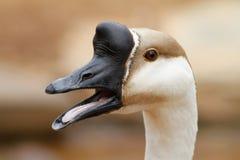 Ganso da cisne (cygnoides do Anser) Foto de Stock