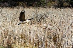 Ganso de Canadá do gigante no voo no campo de trigo Fotografia de Stock Royalty Free