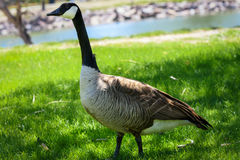 Ganso de Canadá que camina cerca del lago, charca en el parque Animal de la fauna, parque, al aire libre Wyoming, los E Charca, l Fotos de archivo