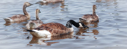 Ganso de Canadá - fêmea com sua natação da embreagem no rio de Ottawa Imagem de Stock