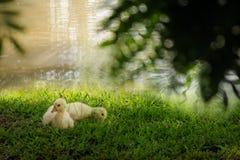 Ganso de dos bebés que miente en hierba Fotografía de archivo