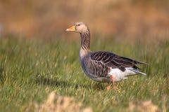 Ganso de ganso silvestre (anser del Anser) que camina a través de hierba Imagen de archivo libre de regalías