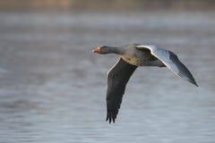 Ganso de ganso silvestre en vuelo Imagen de archivo