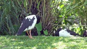 Ganso de la urraca o pájaro blanco y negro del semipalmata de Anseranas en hierba verde almacen de metraje de vídeo