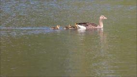 Ganso de mãe com bebês vídeos de arquivo