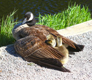Ganso de mãe que protege seus bebês Foto de Stock Royalty Free