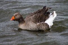 Ganso de pato bravo europeu imagens de stock